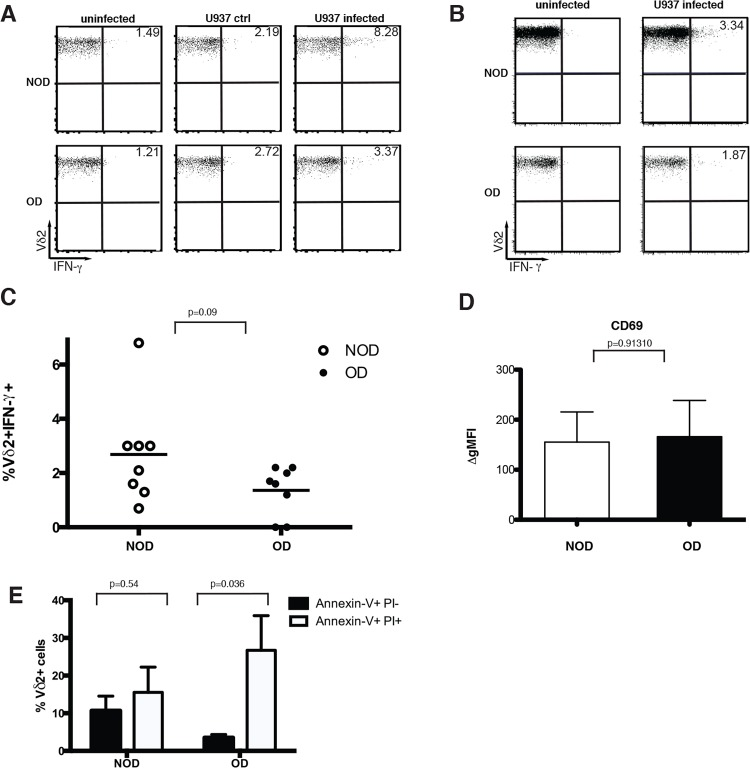 Vγ9Vδ2 T cells are more sensitive to apoptosis and have a reduced ability to produce IFN-γ in response to nonobese APCs. PBMC from non-obese (NOD) or obese (OD) donors were co-cultured with a monocytic cell line U937 to determine if the dysfunction was T cell intrinsic. (A, B) Representative plots of IFN-γ production by Vδ2 + CD3 + gated cells. PBMC were either cultured alone (uninfected), with U937 cells (U937 ctrl) or with influenza infected U937 cells (U937 infected). (C) Percentage of Vδ2 + T cells producing IFN-γ in NOD and OD in response to infected U937 cells (corrected for controls, n = 8). Horizontal lines represent the mean. (D) Change in MFI of CD69 expression on Vδ2 + CD3 + gated cells following 8 hour incubation with uninfected or infected U937 cells. Data represents five separate donor pairs and their standard deviation. P-values calculated from Pearson's unpaired Student's t -test. (E) Data represents the percentage of Vδ2 + T cells staining positive for Annexin-V but not PI (dark bars) or positive for both Annexin-V and PI (white bars) by flow cytometry (n = 5) with standard deviation.