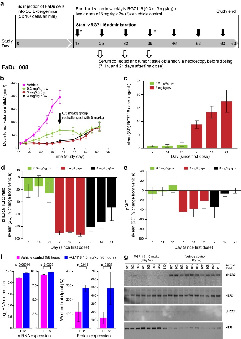 a Extended dosing study investigating seven i.v. weekly administrations of an efficacious dose (3 mg/kg) and a less-efficacious (0.3 mg/kg) dose of RG7116 in FaDu xenograft mice (FaDu_008). RG7116 given as a three-weekly cycle (two doses in total) was also investigated. b Dose-dependent efficacy up to Day 39 was seen as in the previous study and tumor growth inhibition with 3 mg/kg RG7116 given as a three-weekly cycle was similar to weekly dosing. Mice in the 0.3 mg/kg group were rechallenged ( black arrow ) with 5 mg/kg on Day 39 resulting in tumor growth inhibition for two further assessments; however, tumor regrowth was observed in all dosing groups from Day 50. c RG7116 trough concentrations from the first to third administrations again showed accumulation only with the higher dose. Inhibition of HER3 ( d ) and AKT ( e ) phosphorylation was also seen with weekly dosing at the efficacious dose (3 mg/kg) but not with the lower dose (0.3 mg/kg). Following a single 3 mg/kg dose (representing a three-weekly schedule), initial inhibition of HER3 phosphorylation was seen to diminish by Day 14 and 21. f Upregulation of <t>HER1</t> (~2.1-fold) and HER2 (~1.3-fold) mRNA was seen 96 h after FaDu xenograft mice ( n = 5) were administered 1.0 mg/kg RG7116 in a separate study, and this was associated with upregulation of HER1 and HER2 protein. g To compare the single animals, 20 µg total protein lysate was loaded per lane (lanes 101–110 are vehicle and 201–210 are the RG7116-treated animals). At Day 52, inhibition of HER3 phosphorylation was maintained in RG7116-treated mice, and expressed HER1 was seen to be phosphorylated compared to vehicle control. HER2 and pHER2 were not changed (data not shown). SEM standard error of the mean, SD standard deviation