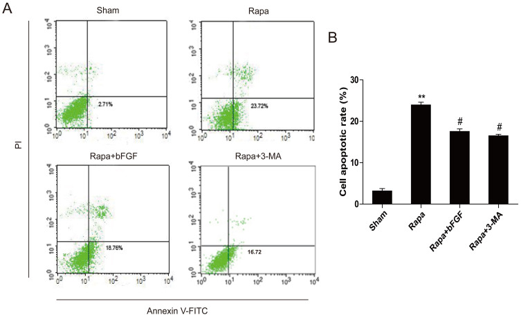 The anti-apoptosis effects of bFGF are related to the inhibition of autophagy, which is induced by rapamycin. (A) H9C2 cells were treated with 100 ng/ml rapamycin with or without 40 ng/ml bFGF. The cells were collected and stained with annexin V-FITC/propidium iodide and detected by flow cytometry. The lower right panel indicates the apoptotic cells. (B) A bar diagram of the apoptotic cell rate from three separate experiments. ** P