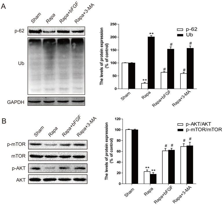 bFGF activates the Akt/mTOR signaling pathways and inhibits rapamycin-induced protein ubiquitination after 12 h treatment in H9C2 cells. (A) Protein expression and optical density analysis of Ub and SQSTM1/p-62 (Thr269/Ser272) of the sham, rapamycin group, and rapamycin treated with bFGF or 3-MA group in H9C2 cells. (B) Protein expression and the optical density analysis of p-AKT (Ser473) and p-mTOR (Ser2448) of the sham, rapamycin group, and rapamycin treated with bFGF or 3-MA group of H9C2 cells. * P