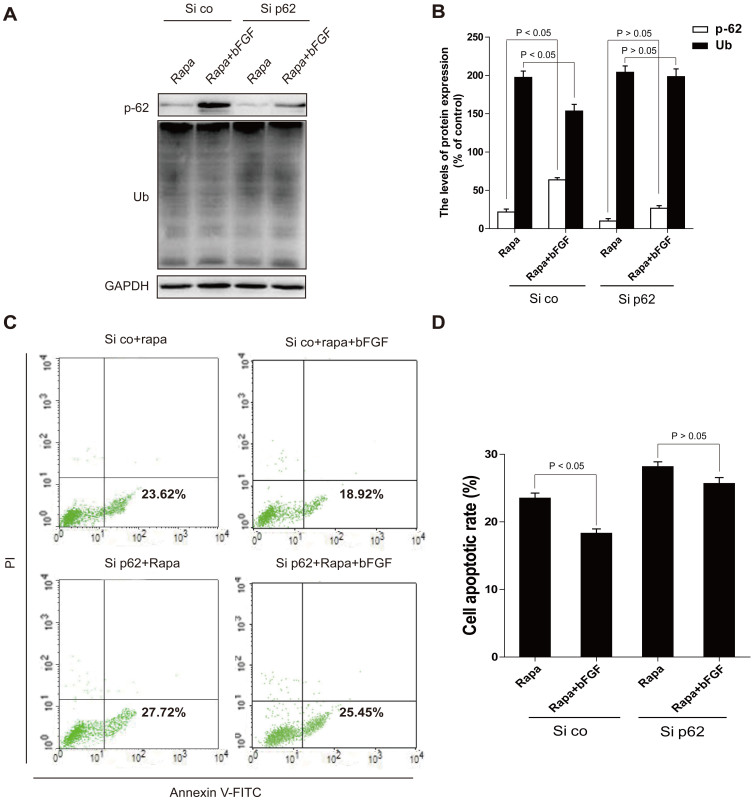 Silencing of p62 partially attenuates the anti-apoptosis effect of bFGF, whereas shRNA against the autophagic machinery Atg7 prolongs the survival of cells co-treated with bFGF and rapamycin. (A, B) Protein expression and optical density analysis of Ub and p62 of the rapamycin group, and rapamycin treated with bFGF in H9C2 cells (si co: random siRNA, si p62: p62 siRNA). (C, D) H9C2 cells (si co: random siRNA, si p62: p62 siRNA) were treated with 100 ng/ml rapamycin, with or without 40 ng/ml bFGF. The cells were collected and stained with annexin V-FITC/propidium iodide and detected by flow cytometry. The lower right panel indicates the apoptotic cells.