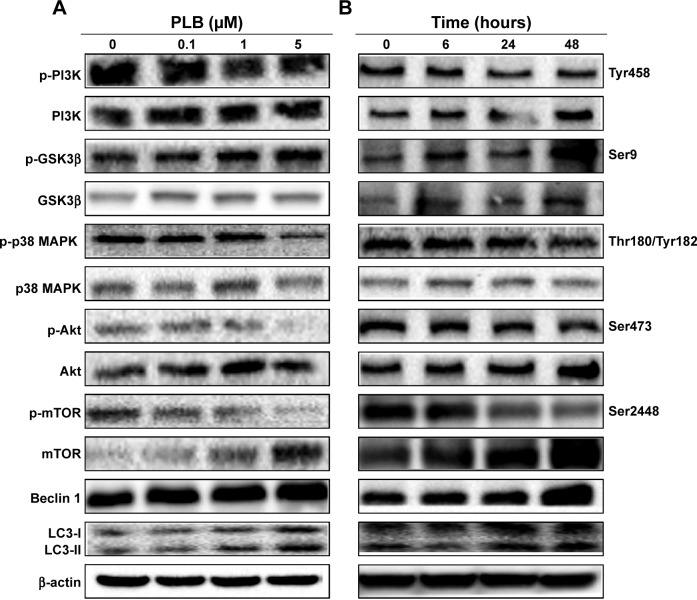 Effect of PLB on the expression level of autophagy-associated proteins in SCC25 cells. Notes: The phosphorylation levels of PI3K, GSK3β, p38 MAPK, and Akt, and the total levels of mTOR, beclin 1, LC3-I, and LC3-II in SCC25 cells determined by Western blotting assay. β-actin was used as the internal control. ( A ) Representative blots show the expression levels of p-PI3K, PI3K, p-GSK3β, GSK3β, p-p38 MAPK, p38 MAPK, p-Akt, Akt, p-mTOR, mTOR, beclin 1, LC3-I, and LC3-II in SCC25 cells treated with PLB at 0.1, 1, and 5 μM for 24 hours and ( B ) representative blots show the expression levels of p-PI3K, PI3K, p-GSK3β, GSK3β, p-p38 MAPK, p38 MAPK , p-Akt, Akt, p-mTOR, mTOR, beclin 1, LC3-I, and LC3-II in SCC25 cells treated with PLB at 5 μM for 6, 24, and 48 hours. β-actin was used as the internal control. Abbreviation: Akt, protein kinase B; GSK3β, glycogen synthase kinase 3β; LC3, microtubule-associated protein 1 light chain 3; MAPK, mitogen-activated protein kinase; mTOR, mammalian target of rapamycin; PI3K, phosphatidylinositide 3 kinase; PLB, plumbagin.