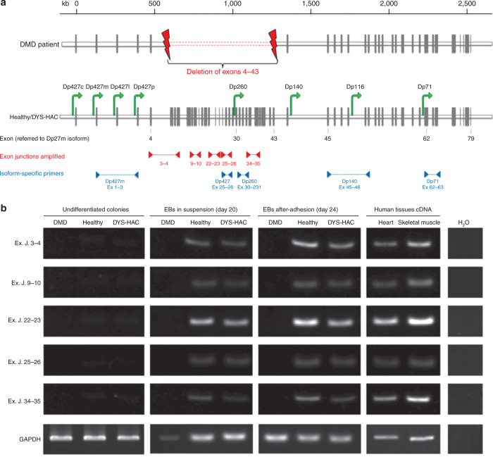 HAC-driven expression of dystrophin sequences originally deleted in DMD patients. ( a ) The genomic organization of the dystrophin gene: the gray vertical bars represent the exons; the green arrows indicate the promoters driving the expression of the different dystrophin isoforms within the gene 1 , 2 ; primer pairs used to amplify exon–exon junctions inside the deleted region are indicated by red arrowheads, and those used to amplify specific isoforms are indicated by blue arrowheads. Exon number here reported refers to the muscle dystrophin isoform Dp427m. ( b ) RT-PCR of specific dystrophin sequences localized inside the patient with deletion of exons (Ex) 4–43. Primers were constructed to spam five different exon–exon junctions (Ex. J.). cDNA from human heart and skeletal muscle was used as positive control. Analyses were performed at three different stages of the differentiation process: undifferentiated colonies, differentiated EBs cultured in suspension (day 20), and adhered cells (day 24), for each hiPS cell lines (DMD, healthy, and DYS-HAC hiPS cells). cDNA from human tissues was used as positive control. cDNA, complementary DNA; DMD, Duchenne muscular dystrophy; DYS-HAC, human artificial chromosome carrying the whole dystrophin genomic sequence; EBs, embryoid bodies; GAPDH, glyceraldehyde 3-phosphate dehydrogenase; HAC, human artificial chromosome; hiPS cells, human induced pluripotent stem cells; RT-PCR, reverse transcriptase–polymerase chain reaction.