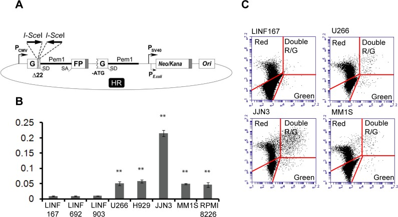 Analysis of HR in normal LINF and MM cell lines. (A) Reporter plasmid for detection of HR [ 22 ]. (B) Cells were transfected with 2 μg of Sce I-digested HR plasmid together with 2 μg of pDSRed2-N1 to normalize for the differences in transfection efficiency. Numbers of green and red cells were determined 48h after transfection by FACS. The ratio of GFP+ cells to DsRed+ cells was used as a measure of repair efficiency. Data are means ± SD of three independent experiments. (C) Representative images showing dot plots corresponding to the indicated cell lines. A total of 6,000 GFP+ and/or DsRed+ cells are shown. (** p