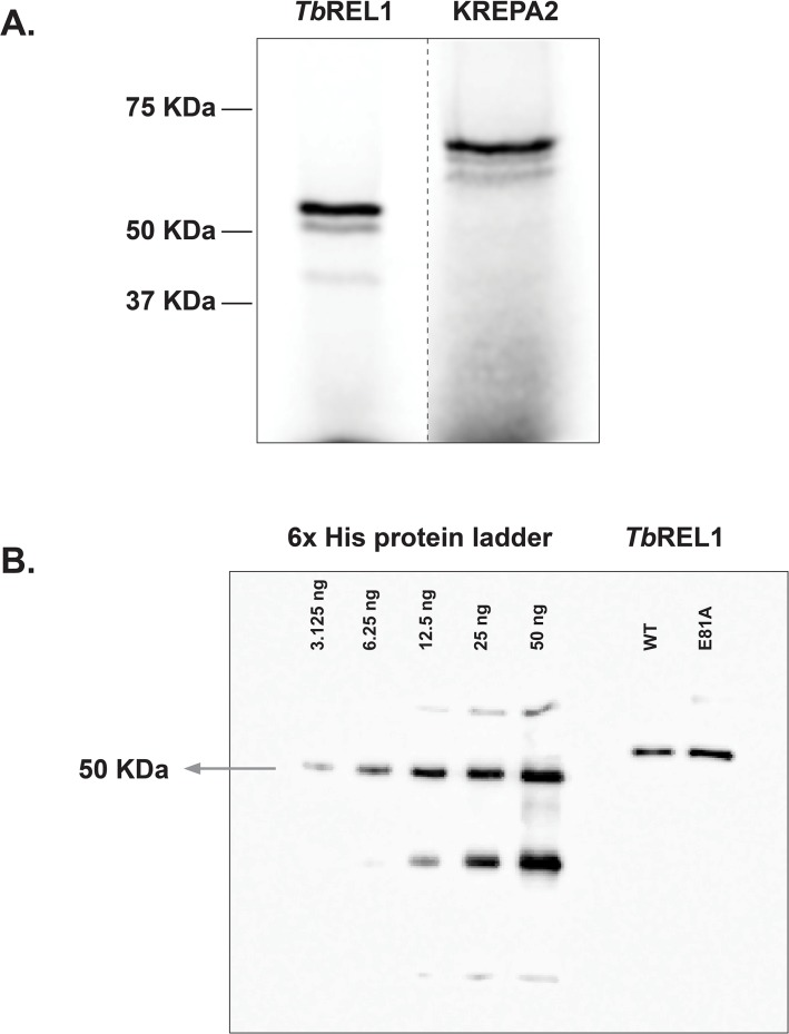 Expression of Tb REL1 and KREPA2. (A) Both proteins were in vitro transcribed/translated in the presence of [ 35 S]-methionine and separated by 10% SDS-PAGE. Tb REL1 (52 kDa) and KREPA2 (63 kDa) migrated at the expected size. (B) Western blot analysis of His-tagged Tb REL1. The blot shows 0.3125, 0.625, 1.25, 2.5, and 5 μL of a 6x His protein ladder of known amounts (3.125, 6.25, 12.5, 25 and 50 ng corresponding to the 50 KDa protein) along with 2 μL of purified Tb REL1 WT and mutation E81A.