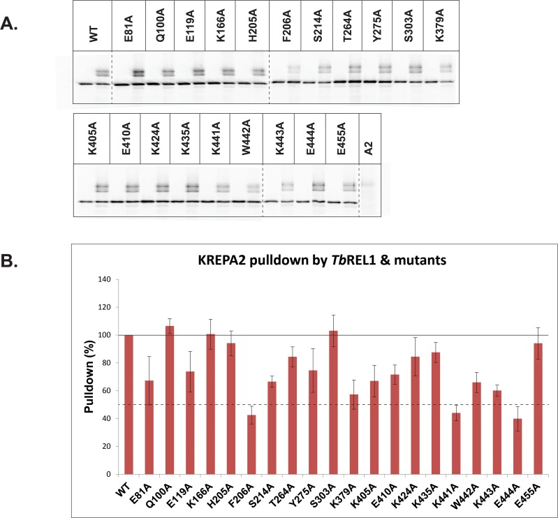 Interaction of Tb REL1WT and point mutants with KREPA2. (A) All mutants were expressed and precipitated in the absence and presence of KREAP2. KREPA2 was precipitated alone as a negative control to check for background binding to the his-tag isolation beads (last lane). (B) Graphical representation of the precipitation experiment. The amount of KREPA2 pulled down was first normalized with its own Tb REL1, after correcting for the background binding of KREPA2. Finally, all pull-down values were normalized to the amount of KREPA2 pulled down by Tb REL1 WT (100%). The amount of KREPA2 pulled down by Tb REL1 F206A, K441A, and E444A were less than 50% of the amount pulled down by the Tb REL1 WT. While the X-axis represents Tb REL1 WT and the different point mutants, the Y-axis represents relative pulldown (%). The error bars represent standard deviation between triplicate samples.