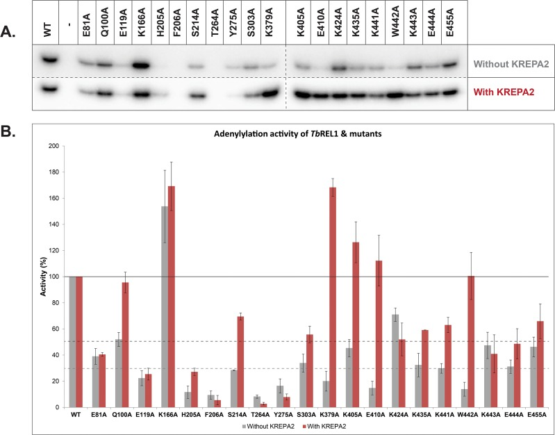 Adenylylation of Tb REL1 WT and point mutants in the absence and presence of KREPA2. (A) Adenylylation gel images of Tb REL1 WT and point mutants in the absence (top) and presence (bottom) of KREPA2. The intensity of the gel above was increased so that Tb REL1 WT adenylylated band intensities matched in both gels (with and without KREPA2), for the purpose of normalization. This gives a better visual perspective on the effect of each mutation with respect to the WT. (B) Graphical representation of adenylylation experiment. The intensity of each mutant in the top gel was normalized to its WT control, and the intensity of each mutant in the bottom gel was normalized to its WT + KREPA2 control. While the X-axis represents Tb REL1 WT and the different point mutants, the Y-axis represents relative adenylylation activity (%). The error bars represent standard deviation between triplicate samples.