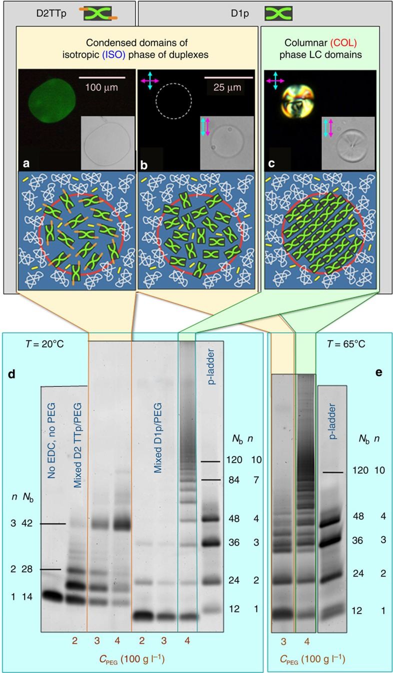 Ligation in condensed LC and isotropic DNA droplets. ( a ) Sketch, bright-field and fluorescent emission microscope picture of condensed D2TTp ISO droplets in a D2TTp/PEG mixture at T =20 °C. Duplexes are selectively marked by EvaGreen dye. ( b ) Sketch and polarized microscope images (crossed and parallel polarizers) of ISO D1p droplets in a D1p/PEG/EDC mixture at T =65 °C and c PEG =300 g l −1 , respectively. ( c ) Sketch and polarized microscope images (crossed and parallel polarizers) of COL D1p droplets in a D1p/PEG/EDC mixture at T =65 °C and c PEG =400 g l −1 , respectively (identical structures are found at 20 °C). ( d ) Polyacrylamide gel (15%) comparing the ligation products in D1p and D2TTp in identical conditions. The formation of concentrated DNA domains produces in the case of D2TTp (lanes on the left-hand side of the gel) a minor increment in the product length, contrasting with the marked discontinuity in the case of D1p. ( e ) Polyacrylamide gel (15%) comparing the ligation products obtained in D1p/PEG/EDC at T =65 °C, where, depending on c PEG , the system is either uniformly mixed or it partitions into two coexisting ISO phases ( c PEG =300 g l −1 , sketch b ), or else it phase separates into coexisting COL and ISO phases ( c PEG =400 g l −1 , sketch c ). Numbers along the lanes indicate the oligomer lengths expressed in number of bases ( N b ) and the polymerization number ( n ). In both gels, the ladder contains DNA oligomers 12, 24, 36 and 48 bases long, synthesized by repetition of D1p sequence. The straight lines are a guide for the eyes, helping the identification of bands corresponding to selected N b . Full gel images are shown in Supplementary Fig. 16 .