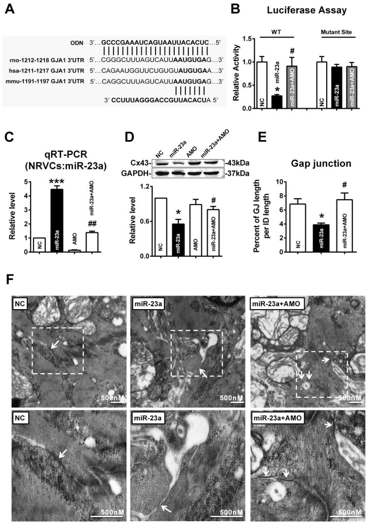 """MiR-23a regulated the expression of Cx43 and induced gap junction remodeling. (A) Complementarity between miR-23a seed sequence (5'end 7 nucleotides) and the 3'UTR of rat's GJA1 mRNA predicted by a computational and bioinformatics-based approach using the TargetScan database. The miRNA-masking antisense (ODN-23a) was designed to be fully complementary to the miR-23a targeting sequence on 3'UTR of GJA1. Watson-Crick complementarity is connected by """"