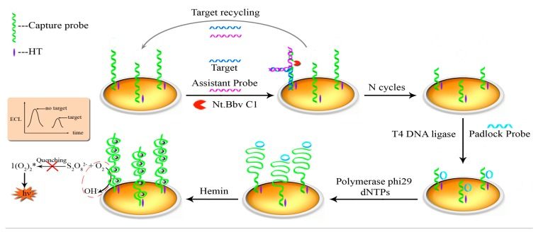 Illustration of the dual signal amplification strategy for specific DNA detection based on the Nt.BbvCI-assisted recycling amplification (TRA), rolling circle amplification (RCA) reaction and the formation of hemin/G-quadruplex.