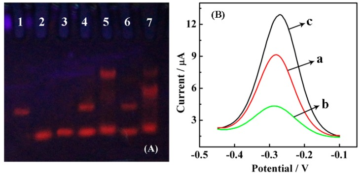 "Verification of Nt.BbvCI-assisted catalyzed TRA. ( A ) Polyacrylamide gel electrophoresis: 1. SH-CP; 2. AP; 3. target DNA; 4. SH-CP/AP; 5. SH-CP/AP/target DNA (""Y"" junction is observed, which is closer to the notch); 6. SH-CP/ AP/ Nt.BbvCI; 7. SH-CP/AP/target DNA/Nt.BbvCI (most of the ""Y"" junction is digested by Nt.BbvCI compared with lane 5). The concentrations of SH-CP, AP, target DNA and Nt.BbvCI were 5.0 μM, 5.0 μM, 5.0 μM and 5.0 U, respectively, for the above samples, which were incubated for 2 h before transferring into the gel; ( B ) DPV curves for (a) HT/SH-CP/AuE; (b) Nt.BbvCI/target DNA/AP/HT/SH-CP/AuE; (c) target DNA/AP/HT/SH-CP/AuE, the concentrations are 1.0 μM AP, 10.0 fM target DNA and 5.0 U Nt.BbvCI, incubation in 10.0 mM Tris-HCl containing 10.0 mM RuHex (pH 7.4) with a pulse amplitude of 50 mV and a pulse width of 0.05 s, respectively."