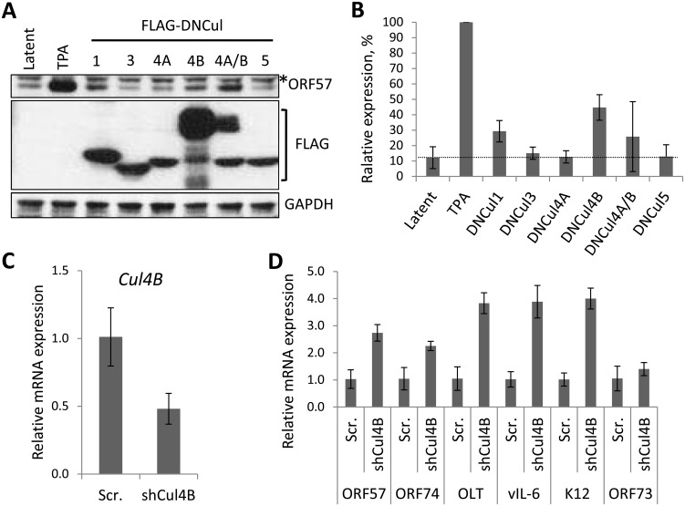 The role of individual CRLs for the regulation of KSHV latency. ( A ) Dominant-negative versions of each Cullin (FLAG-DNCul that inhibits CRL activity [ 35 ]) was expressed in latently infected rKSHV.219 cells and ORF57 expression (as a marker of lytic reactivation) was tested by immunoblot analysis 36 h later. Treatment of cells with MLN4924 and TPA/NaB (sodium butyrate) served as positive controls for reactivation. *denotes non-specific bands and error bars represent the standard deviation of the mean of two independent transfection experiments. ( B ) Densitometry analysis of (A). ( C ) qRT-PCR analysis of Cul4B mRNA from TREx-BCBL-1-RTA cells transfected with either a scramble control shRNA expression vector (Scr.) or four independent shRNA expression vectors targeted at Cul4B (shCul4B). RNA was harvested four days post transfection. ( D ) qRT-PCR analysis of viral gene expression in Cul4B-knockdown cells normalized against GAPDH expression. Error bars represent the standard deviation from three independent transfections per condition. OLT denotes OriLyt transcript.