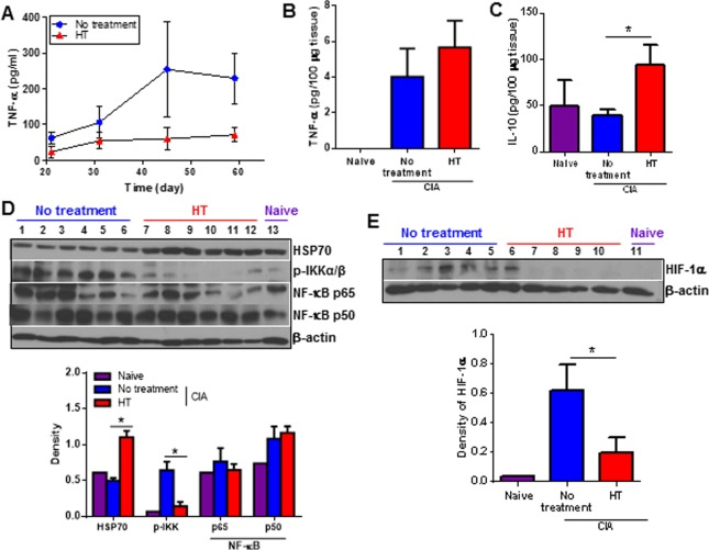 Multiple targets are affected by heat treatment. (A), Serum TNF-α concentration from CIA mice was determined by ELISA. Error bars show SEM (n = 7). (B-C), TNF-α and IL-10 concentrations were detected in the tissue homogenates from naïve and CIA mice paws by ELISA (day 53). Error bars show SEM. Data are representative of two experiments. (D-E), tissue homogenates were prepared from naïve and CIA mice paws and expression of phosphorylated IKKα /β, NF-κB p65, p50, HSP70 and HIF-1α were detected by Western blotting. Each lane represents different mice. The graph shows the ratio of the band intensity of proteins normalized to β-actin. * p