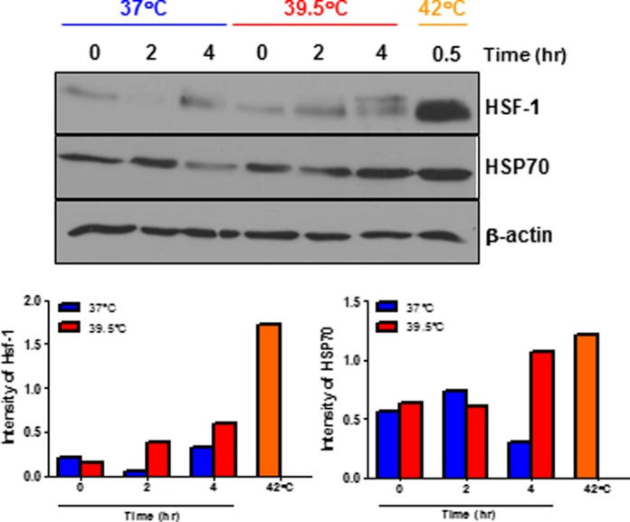 In vitro heat treatment increases HSF-1 and HSP 70 expression which may regulate TNF-α production in activated macrophages. Peritoneal macrophages were harvested from LPS-challenged mice, recovered overnight and re-stimulated with LPS (100 ng/mL) and IFN-γ (25 U) at 37°C or 39.5°C for indicated times. Cell lysates were prepared from these cells to detect HSF-1 and HSP70 by Western blotting. Cells stimulated at 42°C for 30 min were used as positive controls. The graph shows the ratio of the band intensity normalized to β-actin. Data are mean ± SEM. Data are representative of two independent experiments. * p