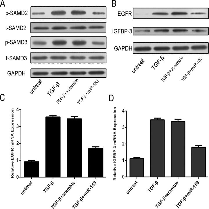 MiR-153 Overexpression repressed the p-SMAD2, p-SMAD3, EGFR and IGFBP-3 expression. The MG-63 was treated in serum-free medium in the presence and absence of TGF-β (50 ng/ml), scramble, or <t>miRNA-153</t> mimic for 24 h. (A) Expression of p-SMAD2, t-SMAD2, p-SMAD3 and t-SMAD3 was detected using western blotting. GAPDH was used as a loading control. (B) Expression of EGFR and IGFBP-3 was detected using western blotting. GAPDH was used as a loading control. (C) The mRNA expression of EGFR was detected using <t>qRT-PCR.</t> The expression of MMP9 was normalized to GAPDH. (D) The mRNA Expression of IGFBP-3 was detected using qRT-PCR. The expression of EGFR was normalized to GAPDH.