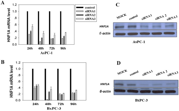 HNF1A knockdown by specific siRNAs in AsPC-1 (A) and BxPC-3 (B) cells. Cells were transfected independently with three different sequences of siRNA directed against HNF1A (siRNA1, siRNA2, siRNA3), or with a control siRNA (Control). Inhibition efficiencies were assessed by qPCR for relative levels of HNF1A mRNA at 24 h to 96 h following the transfections. Western Blot analyses of AsPC-1 and BxPC-3 cells transfected with anti-HNF1A siRNAs. Data are shown for 96 h following transfections. Expression of β-actin was used as an internal control.