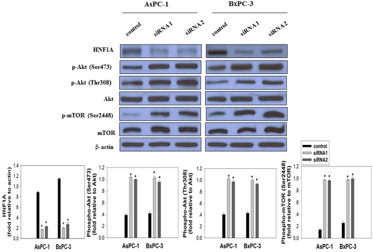 Effect of HNF1A knockdown on AKT/mTOR signaling pathway was assessed by Western Blot. AsPC-1 and BxPC-3 cells were transfected with control <t>siRNA</t> and two different HNF1A siRNAs as indicated. 96h after transfection, cell lysates were immunoblotted with anti- HNF1A antibody, anti-phospho-AKT Ser473 antibody, anti-phospho-AKT Thr308 antibody, and anti-phospho-mTOR Ser2448 antibody. Membranes were stripped and re-probed with anti-AKT antibody, anti-mTOR antibody and anti-β-actin antibody. The fold differences in protein expression levels of cells transfected with HNF1A siRNA and control siRNA was presented as mean ± SD from three independent experiments.