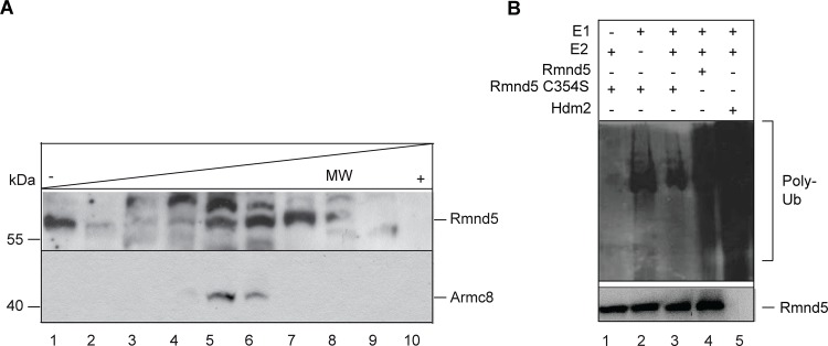 <t>Rmnd5</t> is part of an ubiquitin ligase complex. (A) Glycerol step gradient of <t>Xenopus</t> <t>laevis</t> NF stage 36 embryo lysates. Molecular mass (MW) standard: albumin (67 kDa), fraction 1, 2; LDH (140 kDa), fraction 4; catalase (232 kDa), fraction 6,7. Western blot analysis with α-RMND5A (Rmnd5; upper panel) (1:1000) and α-ARMC8 (lower panel) (1:1000). (B) In vitro polyubiquitination assay with recombinant Xenopus Rmnd5 and Rmnd5-C354S (lane 3, 4). Reactions are performed in the presence (+) or absence (-) of E1 (lane 1), E2 (lane 2) and purified Rmnd5 protein. HDM2 is used as a positive control (lane 5). Polyubiquitination (Poly-Ub) is detected with α-HA and α-RMND5A as control.