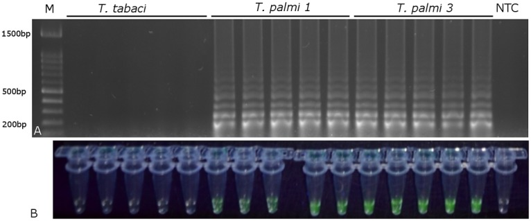 Visualization of LAMP reaction results without DNA extraction. A) After electrophoresis in a 1% agarose gel; B) using EvaGreen stain (Biotium). T.p.— T . palmi , T.t.— T . tabaci . NTC—no template control.