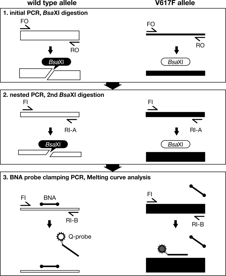 Schematic illustration of MelcaTle. MelcaTle comprises the following steps: 1) PCR amplification of genomic DNA that includes the G1849 region, followed by Bsa XI treatment to digest the JAK2 wild-type allele (G allele), 2) a second nested-PCR amplification and Bsa XI digestion to decrease the wild-type allele concentration, and 3) a third PCR using a blocking probe (BNA probe) and subsequent melting curve analysis with a mutant detection probe (Q-probe). The BNA probe inhibits the amplification of the residual G allele that is not digested by Bsa XI. The BNA clamping probe also blocks Q-probe annealing to the wild-type (G) allele. The thickness of the bar represents the extent of T allele enrichment during the process.