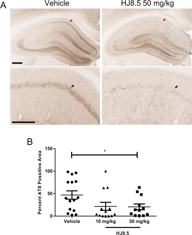 Anti-tau antibody decreased phospho-tau staining in the hippocampal CA1 cell layer. (A) Representative coronal sections of <t>biotinylated</t> <t>AT8</t> antibody staining of phosphorylated tau in the hippocampal CA1 cellular region of 9-month-old P301S mice treated for 3 months with vehicle and HJ8.5 at 50 mg/kg. The lower images are higher power views of the CA1 region in the uppers panels. Red arrows indicate the area magnified in the lower image. Black arrows indicate the hippocampal CA1 cell layer. (B) Quantification of biotinylated AT8 antibody staining of abnormally phosphorylated tau revealed a significant decrease in AT8 staining in mice treated with HJ8.5 at 50 mg/kg in the hippocampal CA1 cellular layer compared to vehicle-treated mice ( P = 0.035). HJ8.5 at 10 mg/kg treated mice also showed decreased AT8 staining compared to the vehicle-treated group, but this was not statistically significant ( P > 0.05). Values represent mean ± SEM. * P