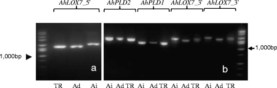 PCR amplicons of AhLOX7 _5', AhLOX7_3 ', AhPLD1 , and AhPLD2. PCR amplification of AhLOX7_5 ', AhLOX7 _3', AhPLD1 , and AhPLD2 . a . Primers 2199/2184 amplify AhLOX7_5 ' on both progenitor genomes and the tetraploid. Amplicons cover partial E2, partial E4, entire E3, I2, and I3. b . Primers 1991/1992 amplified AhPLD2 in tetraploid and diploid progenitor species; primers 2120/2121 amplified AhPLD1 in both sub-genomes; primers 2187/2188 amplified AhLOX7_3 ' in both sub-genomes, amplicons contain partial E7, E9, entire E8, I7, and I8; primers 2186/2188 amplified AhLOX7_3 ' in both sub-genomes at a slightly different amplification start position resulted in similar amplification. DNA size standard: All-purpose Hi-Lo DNA marker, Bionexus, catalogue no. BN2050. TR = A. hypogaea cv. Tifrunner, Ad- A. duranensis (A genome), Ai = A. ipaensis (B genome).