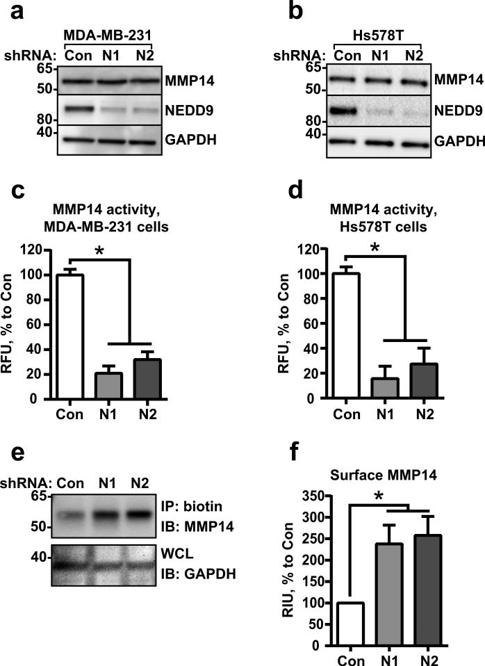 NEDD9 depletion leads to redistribution of MMP14 to the cell surface (a-b) WB analysis of WCL from MDA-MB-231 (a) and Hs578T (b) cells expressing siRNAs against NEDD9 (N1, N2) or non-targeting control siRNA (Con) with anti-NEDD9 (2G9), -MMP14, -GAPDH antibodies. (c-d) MMP14-specific fluorogenic substrate degradation assay in cells as in (a-b). Fluorescence was measured at 328/400 nm excitation/emission. Data plotted as % of RFU to shControl ±S.E.M; n=3; one-way ANOVA with Dunnett's post-hoc analysis for MDA-MB-231: p