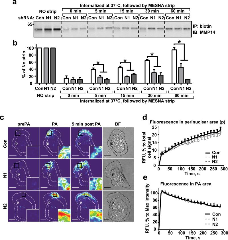 NEDD9 depletion does not affect internalization of MMP14 (a) Western blot (WB) analysis of immunoprecipitated (IP) biotinylated MMP14 from shCon-, shNEDD9 (N1, N2)-MDA-MB-231cells: no strip-0°C (lines 1-3), the rest incubated at 37°C for indicated times, striped with MESNA, lysed, IPed with streptavidin agarose and probed with anti-MMP14 antibody. (b) Quantification of WBs as in (a), three independent experiments, graphs are mean percent (%) of relative intensity units (RIU) to no strip conditions (100%) ±S.E.M; one-way ANOVA with Dunnett's post-hoc analysis *p= 0.0054, 0.0049, 0.0098, 0.0028 for 5, 15, 30 and 60 min respectively. (c) Representative confocal images of shCon-, shNEDD9 (N1, N2)-MDA-MB-231cells expressing PA-mCherry-MMP14 before photo-activation (pre-PA), after- (PA), and 5 min after PA in a defined area. Scale bar, 10μm; inserts are the enlarged areas of PA; BF-bright field image. (d) Quantification of relative fluorescence intensity units (RFU) of mCherry-MMP14 in cells as in (c) in perinuclear area (p); graph is mean RFU % of total RFU/cell ±S.E.M; 10 cells/per treatment (Con, N1, N2); F test performed for fitted lines, p is non-significant (ns) for shCon/shN1 or /N2. (e) Quantification of relative fluorescence intensity (RFU) of mCherry-MMP14 in cells as in (c) in PA area (black rectangle); graph is mean RFU (%) of max RFU/cell (100%) ±S.E.M; 10 cells/per treatment (Con, N1, N2), F test performed for fitted lines, p is (ns).