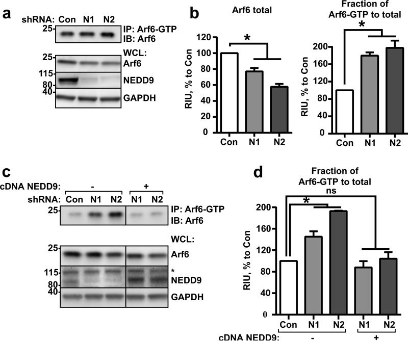 NEDD9 regulates inactivation of Arf6 GTPase (a) Representative image of WB analysis with anti-Arf6. Top: pull-down of Arf6-GTP from shControl (Con) and shNEDD9 (N1, N2) MDA-MB-231 cells; Bottom: whole cell lysate (WCL) used for pull-down, WB with anti-Arf6, -NEDD9 (2G9), -GAPDH antibodies. (b) Quantification of relative intensity units (RIU) of WBs from (a), Arf6-total in WCL and Arf6-GTP in pull-down); three independent experiments; graphs are mean RIU as % to control (Con, assigned as 100%) ±S.E.M. one-way ANOVA with Dunnett's post-hoc analysis Arf6 total: *p=0.0013,