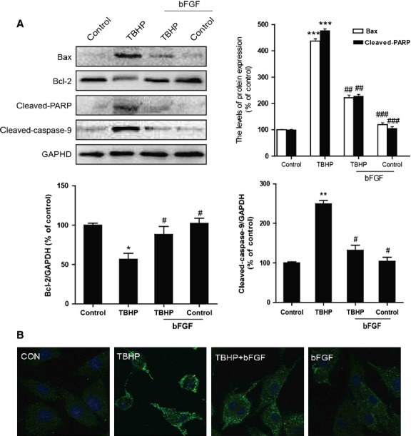 The effect of basic fibroblast growth factor (bFGF) on mitochondrial dysfunction-related proteins induced by hydroperoxide (TBHP) in H9C2 cells. (A) H9C2 cells were pre-treated with 50 ng/ml bFGF for 2 hrs, and then 100 μM TBHP was added for an additional 8 hrs. The cell lysates were analysed for the expression of Bax, Bcl-2, <t>cleaved-PARP</t> and <t>cleaved-caspase-9</t> by western blotting. Bar diagram of Bax, Bcl-2, cleaved-PARP and cleaved-caspase-9 expression from three Western blot analyses. (B) Immunofluorescence results of the mitochondrial apoptotic marker cytochrome c in H9C2 cells. * P