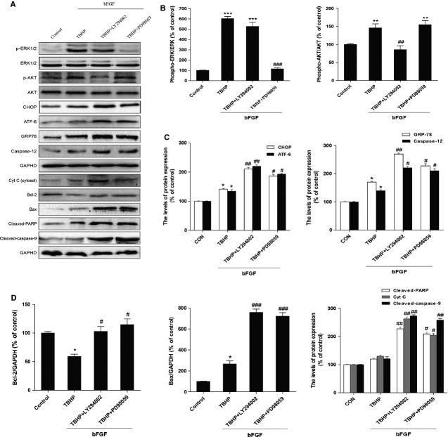 Inhibition of the PI3K/Akt and ERK1/2 pathways partially attenuates the basic fibroblast growth factor (bFGF)-mediated reduction in the endoplasmic reticulum (ER) stress and mitochondrial dysfunction effects in H9C2 cells. H9C2 cells were pre-treated with 50 ng/ml bFGF with or without the specific inhibitors LY294002 (20 μM) and PD98059 (20 μM) for 2 hrs, and then 100 μM hydroperoxide (TBHP) was added for an additional 8 hrs. The cell lysates were analysed by western blotting to detect the expression of phospho-Akt, phospho-ERK and ERK, CHOP, GRP-78, ATF-6, caspase-12, Bax, Bcl-2, Cyt c, cleaved-PARP and cleaved-caspase-9. Bar diagram of the (B) phospho-Akt/Akt ratio, phospho-ERK/ERK ratio, (C) CHOP, GRP-78, ATF-6 and caspase-12, (D) Bax, Bcl-2, Cyt c, cleaved-PARP and cleaved-caspase-9 expression from three Western blot analyses. GAPDH was used as a protein loading control and for band density normalization. * P