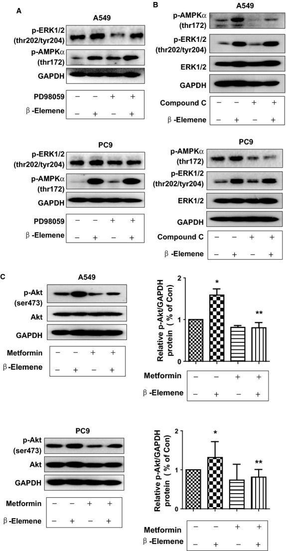 While <t>PD98059</t> or compound C had little effect on influencing the effect of β-elemene in phosphorylation of AMPKα or ERK1/2, metformin reversed the effect of β-elemene on phosphorylation of Akt. A549 (A) and PC9 (B) cells were treated with PD98059 (20 μM) or compound C (20 μM) for 2 hrs before exposure of the cells to β-elemene (20 μg/ml) for an additional 24 hrs. Afterwards, the expression of p-ERK1/2 and p-AMPKα protein and their total forms was detected by Western blot. (C) A549 and PC9 cells were treated with metformin (5 mM) and β-elemene (20 μg/ml) for up to 2 hrs. Afterwards, the expression of p-Akt and p-AMPKα protein and total ones were detected by Western blot. The bar graphs represent the mean ± SD of p-Akt/GAPDH of three independent experiments. * indicates significant difference from untreated control cells. ** indicates significant difference from β-elemene treated alone ( P