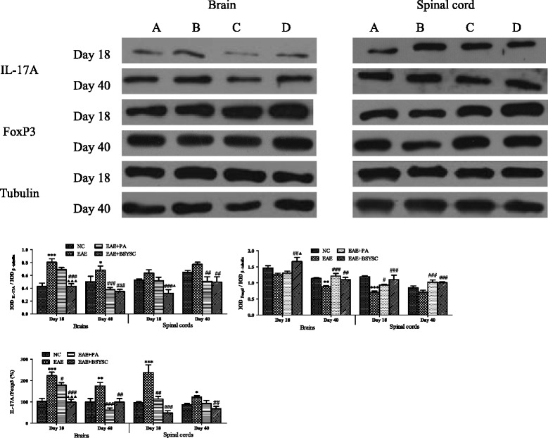 Western blot analysis of the effect of BSYSC on IL-17A and FoxP3 protein expressions in the brain and spinal cord of mice. (A) to (D) NC, EAE, EAE + PA and EAE + BSYSC mice. Note: * p