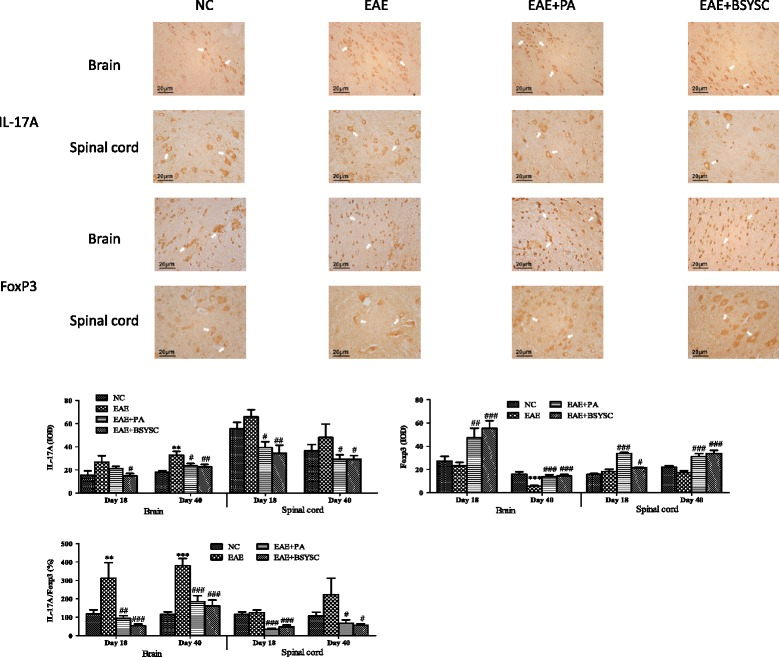 IHC analysis of the effect of BSYSC on <t>IL-17A</t> and FoxP3 protein expressions in the brain and spinal cord of mice. Note: ** p