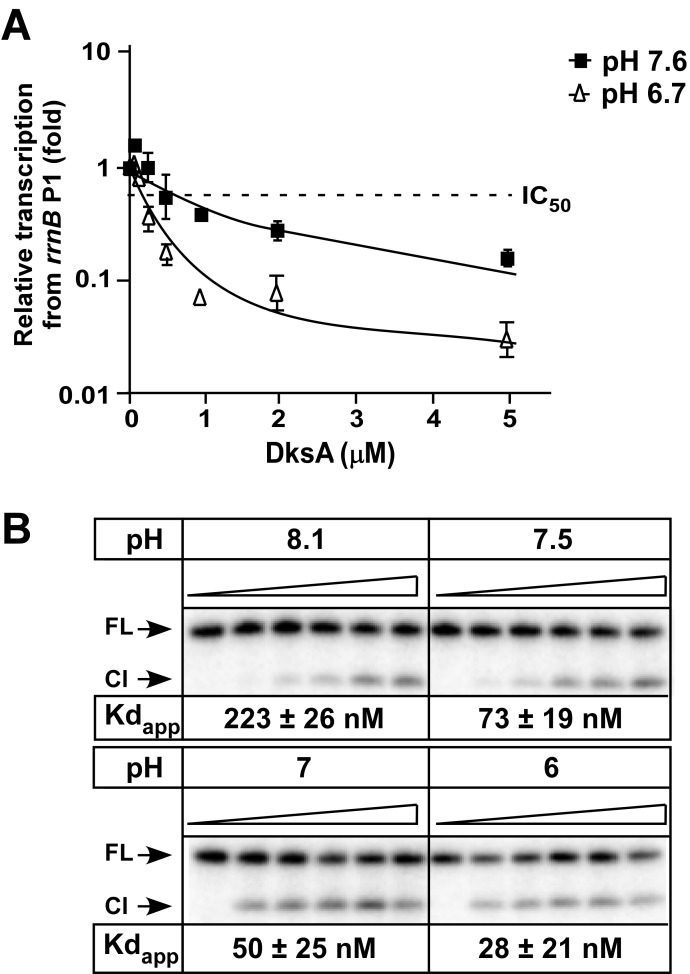 DksA is sensitive to changes in pH. (A) DksA activity increases at low pH. Increasing concentrations of DksA were added to holo RNAP (30 nM), ApC dinucleotide (0.2 mM), UTP (0.2 mM), GTP (4 μM) and [α- 32 P]-GTP (10 μCi of 3000 Ci mmol −1 ) followed by incubation for 15 minutes in Transcription buffer (20 mM Tris-HCl pH 7.9, 20 mM NaCl, 10 mM MgCl2, 14 mM 2-mercaptoethanol, 0.1 mM EDTA). A linear DNA fragment containing the rrnB P1 promoter was added to initiate transcription and the formation of a 4 nucleotide RNA product was monitored on a denaturing 8% acrylamide gel. A dotted line marks the inhibition of 50% of transcription and is denoted as IC 50 . The IC 50 values (calculated using a single-site binding equation from three independent repeats combined in a best-fit curve, in μM) were: pH 7.6 − 0.7 ± 0.28, pH 6.7 − 0.11 ± 0.016. (B) DksA affinity to core increases at lower pH. DksA binding to core RNAP was performed using the localized Fe 2+ mediated cleavage assay at different pH. DksA concentrations were: 0, 25, 50, 100, 200 and 400 nM. FL—Full length protein, Cl—cleaved protein, Kd app—apparent Kd.