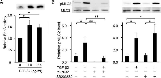 Analysis of the Rho signaling activity. (A) Effect of TGF-β2 on RhoA activity in HTM cells. (B) Effects of TGF-β2, Y-27632 and <t>SB203580</t> on myosin light chain (MLC)-2 phosphorylation in HTM cells. Cells with or without 10 μM Y-27632 or 10 μM SB203580 pretreatment for 30 min were stimulated with 2.5 ng/ml TGF-β2 for 30 min. Data shown in upper panels are results of representative Western blot analyses of phosphorylated MLC2 (pMLC2) and total MLC2. Relative changes in the ratio of MLC phosphorylation are shown in the lower graph. Data are shown as means ± SE, n = 10. *P