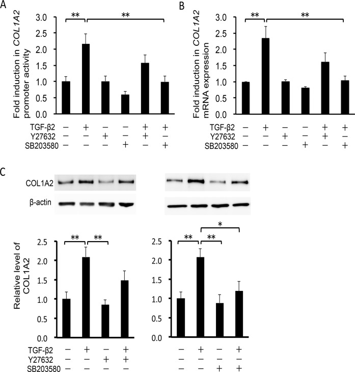 Effects of TGF-β2, Y-27632 and SB203580 on COL1A2 induction in HTM cells. HTM cells were pretreated with 10 μM Y-27632 or 10 μM SB203580 for 30 min, and then stimulated with 2.5 ng/ml TGF-β2 for 24 h. Data are shown as means ± SE. *P