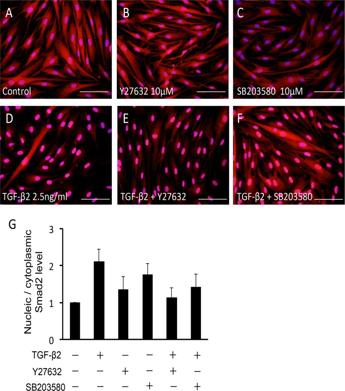 Effects of TGF-β2, Y-27632 and SB203580 on nuclear translocation of Smad2/3 in HTM cells. HTM cells were pretreated with 10 μM Y-27632 (B, E) or 10 μM SB203580 (C, F) for 30 min, and then stimulated with 2.5 ng/ml TGF-β2 (D-F) for 24 h, immunolabeled with anti-Smad2/3 antibody (red), and observed by fluorescence microscopy. Cell nuclei were counterstained by DAPI (blue). Scale bar: 50 μm. (G) Relative expressions of nucleic Smad2 to its cytoplasmic expression are shown in the graph. Nucleic and cytoplasmic proteins were extracted, and the expression level of Smad2 was assessed separately. Data are shown as means ± SE, n = 5.
