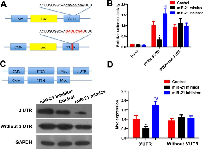 miR-21 targeting 3'UTR of PTEN. (A) Construction of 3'UTR and mutated 3'UTR of PTEN into pMIR-REPORT vector. (B) In the cells transfected with pMIR-REPORT-PTEN-3'UTR, the luciferase activity was increased by miR-21 and decreased by miR-21 inhibitor. In the cells transfected with pMIR-REPORT-PTEN-mut-3'UTR, the luciferase activity remained no significant difference among the three groups. (C) The open reading frame of PTEN with or without 3'UTR was cloned into pCS2 vector. A Myc tag was attached to PTEN to distinguish the endogenous or exogenous PTEN. (D) Graphic representation of Myc showed that overexpression of miR-21 reduced Myc expression while miR-21 inhibitor increased its expression. While the PTEN 3'UTR was knocked out, the expression of PTEN was not influenced by miR-21. * compared with control group, # compared with miR-21 mimic group. P
