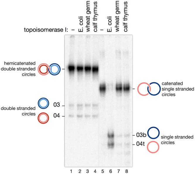 Assay of topoisomerases I with double strand hemicatenanes and single strand catenanes. Material from bands D and S ( Fig. 6C D ), expected to correspond respectively to hemicatenanes and single strand catenanes, were incubated with topoisomerase I from E. coli, wheat germ, and calf thymus. E. coli topoisomerase I, a type IA topoisomerase, is able to decatenate the single strand circles as expected, but has no effect on double strand hemicatenanes. The other two enzymes, type IB topoisomerases, show no activity on either substrate.
