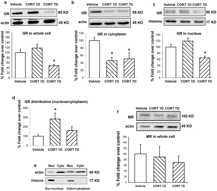 Treatment of 7 days CORT (40 mg/kg, s.c.) decreased GR, but not MR protein levels in the LC. Representative of western blots and quantification of total GR (a), cytoplasm GR (b), nucleus GR (c) and total MR (f) in the LC. (d) The distribution of GR in nucleus/cytoplasm after last injection of CORT. CORT 1D: CORT 40 mg/kg s.c. at day 7 proceeded by 6-day vehicle. (e) <t>β-actin</t> (actin) and histone-3 (histone) are shown as quantitative loading control for cytoplasm and nucleus respectively. Data are represented as mean ± S.E.M. ( n = 6 pooled samples and repeated for 3 ~ 4 times, * p
