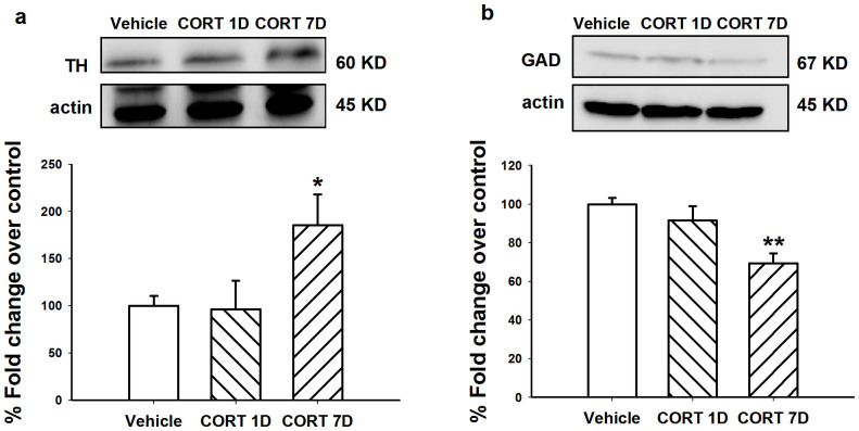 Treatment of CORT (40 mg/kg, s.c.) for 7 days increased TH protein levels in the LC and decreased GAD protein levels in the VLPO. Representative of western blots and quantification of TH (a) in the LC and GAD (b) in the VLPO were shown. CORT 1D: CORT 40 mg/kg s.c. at day 7 proceeded by 6-day vehicle. β-actin (actin) is shown as a quantitative loading control. Data are represented as mean ± S.E.M. ( n = 6 pooled samples and repeated for 3 ~ 4 times, * p