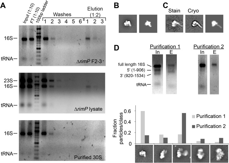Affinity purification of pre-central PK intermediates using an anti-PK capture oligo. ( A ) Agarose gels (stained with ethidium bromide) showing results for affinity purification for Δ rimP sucrose gradient fractions 2–3, Δ rimP lysate, and purified 30S subunits. 16S rRNA is not visible in later washes, but is visible in elution fractions for Δ rimP samples. ( B ) Class average of 3′-domain degradation product versus a forward projection of the 3′-domain filtered to 30 Å resolution. ( C ) Class averages from negative stain and cryoEM data sets with helix 44 density clearly visible, compared with a similar forward projection of the 3′-domain model. ( D ) Comparison of particle distribution between two affinity purification samples. In sample 1, the input 16S rRNA was already heavily degraded, and the 3′-domain was preferentially enriched based on agarose gel analysis. In sample 2, degradation was limited by the addition of RNasin (Promega) and reducing the amount of time for sample preparation. 5000 particles from negative stain data sets for each sample were combined into a single stack (10,000 particles), and subjected to reference-free maximum likelihood classification. The fraction of particles from each data set contributing to various conformations is plotted in the histogram. Putative 3′-domain classes are enriched in the degraded sample 1, while Group II classes are enriched in the intact sample 2. DOI: http://dx.doi.org/10.7554/eLife.04491.016