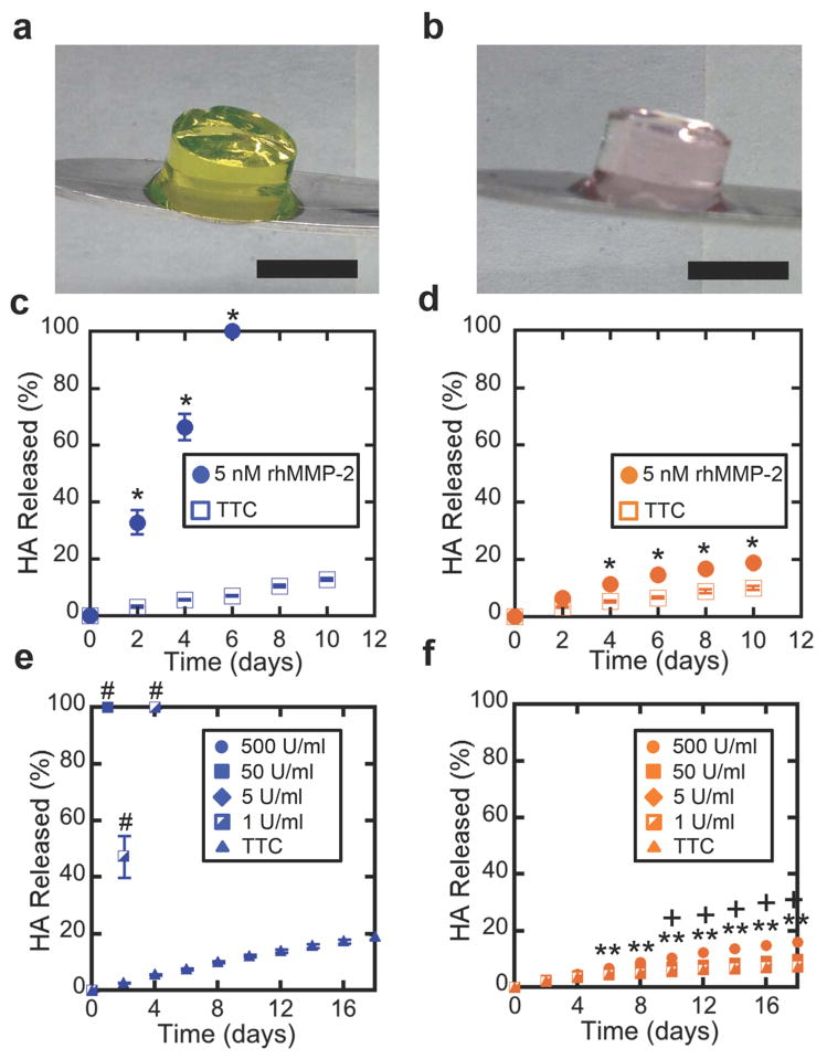 In vitro isotropic MePHA hydrogel degradation 50 μl non-fibrous hydrogels of protease degradable ( a ) and non-degradable ( b ) MePHA equilibrated for 48 hours at 37°C retain their cylindrical shape. Scale bar: 5 mm. ( c , d,e,f ) Quantification of HA release from 2 wt% MePHA hydrogels crosslinked with protease degradable ( c,e ) or non-degradable ( d,f ) methacrylated peptides in <t>5nM</t> rhMMP-2 ( c,d ), varying concentrations of Type II collagenase ( e,f -listed in units of activity per ml) or <t>TTC</t> buffer. Media (rhMMP-2, collagenase, or TTC buffer) was refreshed every two days to maintain enzyme activity and HA release was quantified by monitoring release of a fluorophore covalently bonded to HA. Error bars represent S.D. (n=3,4). *p