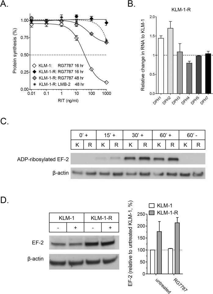 Protein synthesis inhibition and EF-2 ADP-ribosylation in KLM-1-R. A : Protein synthesis inhibition by RG7787 is limited in resistant KLM-1 (KLM-1-R). KLM-1 was incubated for 16 hrs with RG7787, and KLM-1-R for 16 and 48 hrs with RG7787 and anti-CD25 LMB-2. RG7787 induces a dose-dependent protein synthesis inhibition in KLM-1-R, which is absent in KLM-1-R. After 48 hrs, RGG778 induces some decrease in protein synthesis in KLM-1-R, which is also the case with LMB-2. Protein synthesis inhibition was evaluated by measuring [ 3 H]leucine incorporation. B : Diphthamide Biosynthesis Protein (DPH) genes expression is not down-regulated in KLM-1-R, compared to KLM-1. Expression levels were evaluated with real time RT-PCR, standardized for ß-actin and presented relative to KLM-1 C : EF-2 ADP-ribosylation is functional in KLM-1-R. RIT-induced EF-2 ADP-ribosylation was evaluated by incubating cell lysate with ADP-ribosylation buffer, 6-Biotin-17-NAD and 10 ng of RG7787 for 0, 15, 30 and 60 min at 25°C. Samples were subjected to SDS/PAGE followed by Western blotting with streptavidin HRP conjugate to detect biotin ADP-ribosylated EF-2. The 0 min time point and the sample without RG7787 are negative controls. D : EF-2 protein levels are on average 2-fold higher in KLM-1-R compared to KLM-1. Western blot was done on cell lysate of KLM-1 and KLM-1-R. β-actin acts as loading control. Protein levels were quantified and adjusted for β-actin levels with Image J. K: KLM-1, R: KLM-1-R,—no RG7787, + with RG7787.