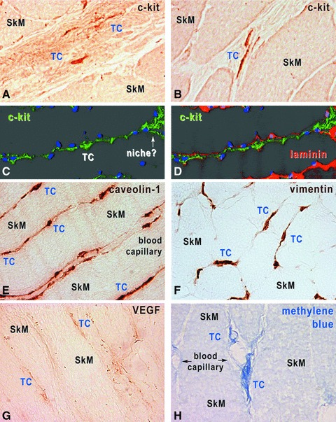 Human skeletal muscle, immunohistochemistry with HRP conjugated antibodies on cryosections (A, B, E, H) and immunofluorescence-confocal microscopy (C, D). TCs are located within interstitium, and express c-kit (A–D), caveolin-1 (E), vimentin (F) and VEGF (G). TCs were also revealed by methylene blue vital staining (H). In C and D, TCs are identified by c-kit expression (green), the basal lamina by laminin expression (red) and nuclei are stained with DAPI (blue). Original magnification 1000×.