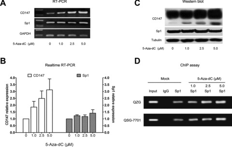 Promoter hypomethylation up-regulated CD147 expression through increasing Sp1 binding in vivo . (A, B and C) The mRNA and protein expression of CD147 and Sp1 detected by regular RT-PCR, real-time quantitative RT-PCR and Western blot in QZG cell treated with different concentration of 5-Aza-dC. (D) Demethylation increased the binding of Sp1 to the CD147 promoter in vivo . ChIP assay using antibody against Sp1 was performed in before and after 5-Aza-dC treatment QZG cell. The normal rabbit IgG was used as a negative control and Input indicates 5% input DNA, a positive amplification control.