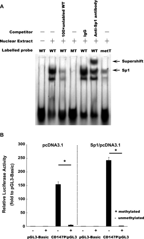 Methylation status interfered the Sp1 binding to the CD147 gene promoter and inhibited CD147 transcriptional activity in vitro . (A) Methylation status interfered the Sp1 binding to the CD147 gene promoter in vitro . The binding of Sp1 to the CD147 gene promoter was determined by electrophoretic mobility shift analysis (EMSA). By using biotin-labelled 30-bp double-stranded oligonucleotides containing wild, mutated or methylated Sp1-binding sites as probes, EMSAs were performed with the same amount of nuclear extracts from HepG2 cells, and the products were separated on a 5% polyacrylamide gel (lanes 2–7). Lane 1, free probe; lane 2, biotin-labelled wild-type Sp1 consensus oligonucleotides were mixed with nuclear proteins; lane 3, the same reaction was performed as that in lane 2, except for the presence of a 100-fold excess of unlabelled wild-type Sp1 consensus oligonucleotides as a competitor; lanes 4, binding assays of biotin-labelled mutant-type Sp1 consensus oligonucleotides mixed with nuclear proteins; lanes 5–6, 1 μg each of IgG and anti-Sp1 antibody were added to the binding reaction mixtures with biotin-labelled wild-type probe; lane 7, binding assays of biotin-labelled methylated Sp1 consensus oligonucleotides mixed with nuclear proteins. (B) Analysis for the effect of in vitro DNA methylation on the CD147 promoter activity through the transfection of HEK-293 cells with methylated CpG reporter constructs. CD147P/pGL3 treated or untreated with SssI methylase was co-transfected with the pcDNA3.1 or Sp1/pcDNA3.1 into HEK-293 cells with pGL3-Basic as control. The relative luciferase activity was denoted as above-mentioned method and also expressed as the mean ± S.D. for three independent experiments. * P