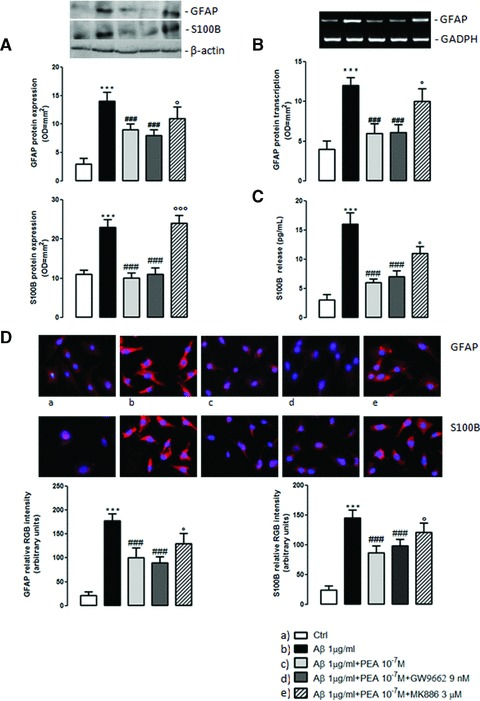 PEA attenuates Aβ-induced astrocyte activation. Aβ-challenged (1 μg/ml) cells were treated with PEA (10 −7 M) in the presence of the selective PPAR-γ antagonist (GW9662, 9 nM) or the selective PPAR-α antagonist (MK886, 3 μM). GFAP <t>mRNA</t> was evaluated 12 hrs following Aβ challenge; GFAP and S100B protein expression was evaluated after 24 hrs of treatments by Western blot and immunofluorescence analyses. S100B release in the cellular milieu was determined 24 hrs after Aβ challenge by ELISA assay. (A) Results of GFAP and S100B Western blot analysis and densitometric analysis of corresponding bands. β-actin was used as loading control. (B) Results of GFAP <t>RT-PCR</t> amplification and densitometric analysis of corresponding bands. GAPDH was used as standard control. (C) Measurement of S100B release by ELISA assay. (D) Analysis of GFAP and S100B protein expression by immunofluorescence (magnification 10 × ). Results are the mean ± S.E.M. of n = 4 separate experiments. *** P
