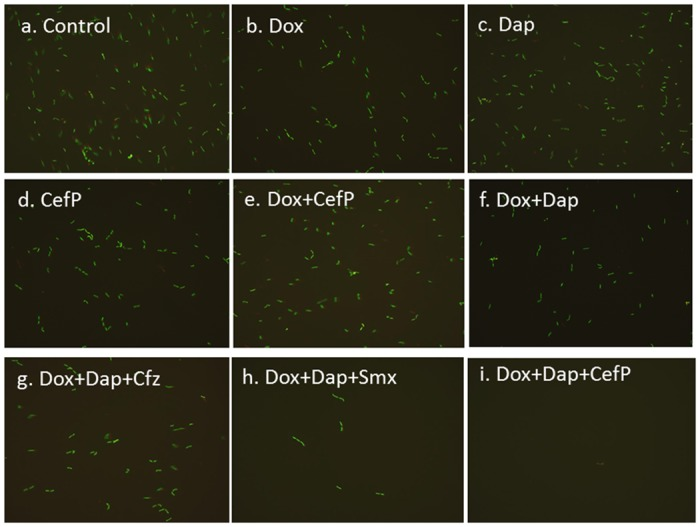 Subculture (15 days) of 10 day old B. burgdorferi stationary phase culture treated with different antibiotics alone or in combinations. Representative images were taken with fluorescence microscopy (400 × magnification) using SYBR Green I/PI staining. Only Dox+Dap+CefP completely killed all forms including the microcolony form of B. burgdorferi persisters as shown by lack of any viable green spirochetal form after 15 day subculture. Abbreviation: Dox, doxycycline; CefP, cefoperazone; Cfz, clofazimine; Dap, daptomycin; Smx, sulfamethoxazole.
